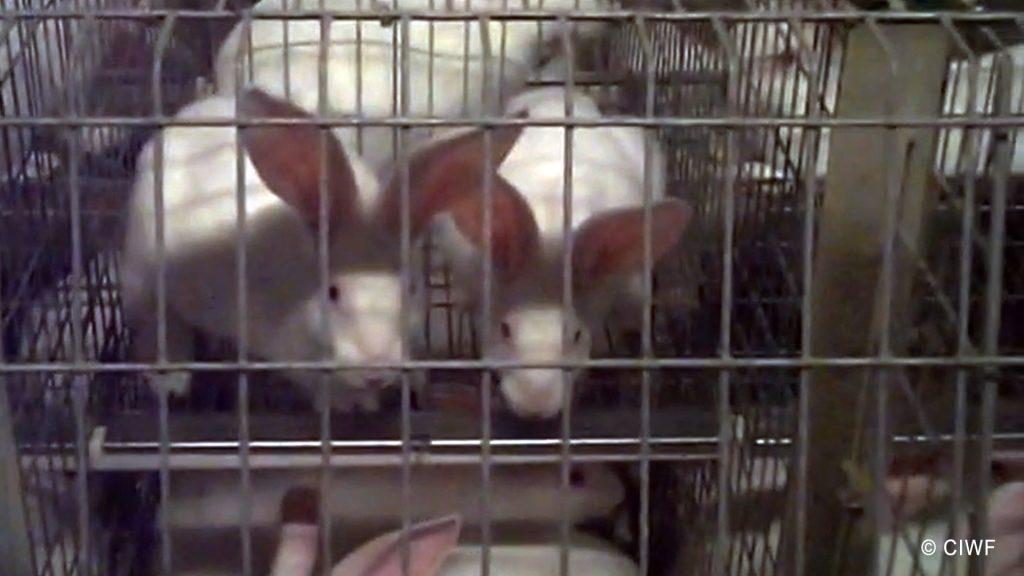 Imagini surprinse de Compassion in World Farming într-o fermă de iepuri din Italia - 2019.