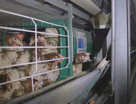 Românii nu vor ouă de la găini chinuite în cuști