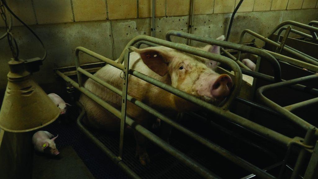 Fermă europeană cu animale în cuști | Foto: Compassion in World Farming
